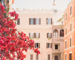 Have a great weekend! (ninasclicks) Tags: flowers bougainvillea rome roma italy travel street bokeh dof pink