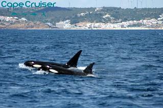 Orcinus orca - Cape Cruiser - Sagres