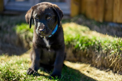 dog pets dogs animals zeiss puppy iceland sony perro 55mm e blacklab perros fe alpha f18 18 za animalplanet a7 carlzeiss sonya7 sonnartfe1855 sonnar5518za