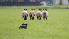 20140601-IMG_3701 (Bas Bloemsaat) Tags: collie sheep sheepdog border bordercollie trial herding