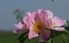 Hundsrosen (Rosa canina); Bergenhusen, Stapelholm (12a) (Chironius) Tags: stapelholm bergenhusen schleswigholstein deutschland germany allemagne alemania germania германия niemcy blüte blossom flower fleur flor fiore blüten цветок цветение rose rosa roze gül роуз rosen roses rosids fabids rosales rosenartige rosaceae rosengewächse rosoideae