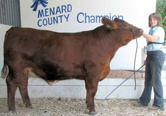 "Champion Steer 4H Champion Simmental Steer Open Menard Co Fair '10 • <a style=""font-size:0.8em;"" href=""http://www.flickr.com/photos/25423792@N05/14436289994/"" target=""_blank"">View on Flickr</a>"