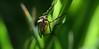 Quasi Robber Modo (pete ware) Tags: macro grass morninglight f14 archive 85mm robberfly asilidae hunched samyang assassinfly nikond7000 darlandbanksnaturereserve peteware