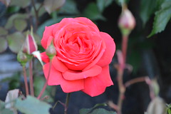 June 16/14 - Roses, Roses, Roses (Primespot Photography) Tags: pink flowers trees red roses orange white canada flower tree green water rose yellow flora lily bc purple britishcolumbia clematis plum vancouverisland lilies gerbera bleedingheart hydrangea duncan plums