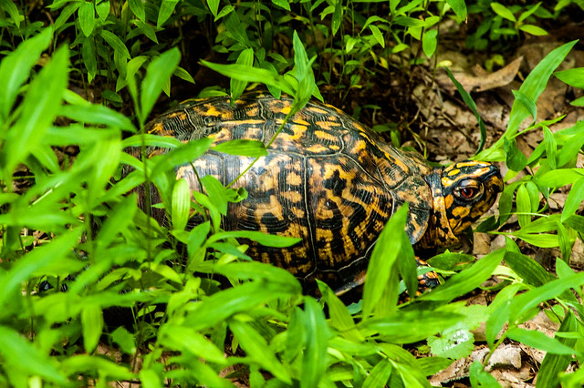 Hoosier National Forest - Lick Creek Trail - Box Turtle - June 17, 2014