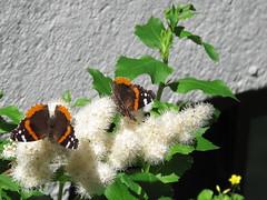 2014-06-26 IMG_2419 (Jo E Stan) Tags: orange white flower fleur butterfly redadmiral papillon blanche vanessaatalanta