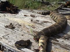 snake rattlesnake frightening decapitated wallowacounty stillticking