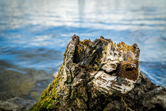 Stumpy by Water (cmceye) Tags: wood brown lake tree green nature water moss bokeh shore walkabout stump chase alpha chasewater selp18105g sonya6000 sonya6000a6000selp18105g