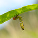 Argid Sawfly Larva (Arge sp )