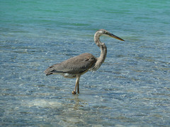 Great Blue Heron / Kanadareiher (Ardea herodias) (ralph_behrens) Tags: heron mangrove greatblueheron bonaire kralendijk lacbay bonairenetherland