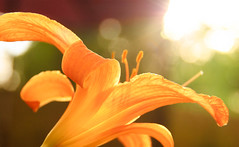lily (andymudrak) Tags: orange sunlight flower beautiful lily plantlife