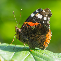 VULCAIN Vanessa atalanta14 (daumy) Tags: france papillon vol campagne arbre nord butiner bois verdure feuille ailes vulcain daumy01