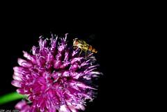 Microfly (Lewis Adams Photography) Tags: pink flowers plants black flower color colour macro nature closeup photography fly nikon purple adams lewis vivid telephoto af d200 macros nikkor tamron shrubs macrophotography 2014 70300 nikond200 afnikkor dibaday photographyforbeginnersmacro