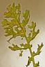 Common Ragwort, Senecio jacobaea AKA Stinking Billie (8) (Ben Grader) Tags: england plant flower macro closeup leaf petals stem weed view sony picture somerset scene petal tamron stalk wessex seneciojacobaea dioptre commonragwort dioptres slta77