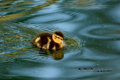 Mallard Duckling DSC_8911 (Ron Kube Photography) Tags: canada bird nature birds fauna duck nikon duckling ducks alberta mallard ornithology anasplatyrhynchos southernalberta d7100 globalbirdtrekkers ronaldok nikond7100 ronkubephotography