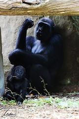 Wie Mutter so Tochter (Maike B Fotografie) Tags: gorilla mutter schatten schwarz mittagessen tochter zeitvertreib futter karotten aufmerksam gorillafamily muttertochter