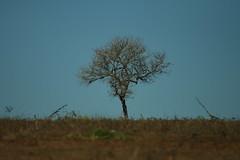 Tree (0917) (Jorge Belim) Tags: flora árvore 70200 canoneos50d
