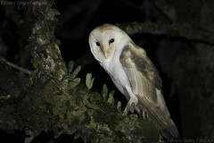 Suindara (Tyto furcata) (fabsciack) Tags: owl coruja tytoalba suindara americanbarnowl corujabranca corujadaigreja tytofurcata