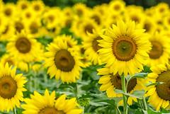 Sunflower field at McKee-Beshers WMA, MD (lalo_pangue) Tags: flowers naturaleza flores nature flora nikon bees sunflowers girasol d7000 mckeebesherswmamd