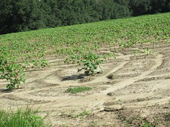 IMG_1530 (daruvante) Tags: trees plants field lines outdoors farm ground soil rows crops
