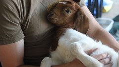 Baby Alice (SharonHill09) Tags: california ranch chickens animals farm goat jackson chicks babygoat farmanimals amador babyanimals babygoats ranchanimals babychickens raisinganimals farmsofamador