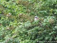Red-backed shrike (Lanius collurio) Quainton Hills 3/8/14 (J.R.Hunt1997) Tags: bird hills shrike quainton redbacked lanius collurio 3814 august2014