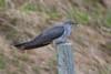 Cuckoo (Cuculus canorus) (PeterQQ2009) Tags: birds norway cuckoo cuculuscanorus
