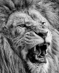 Lion (Rami Khanna-Prade) Tags: lion bigcats pantheraleo felidae genuspanthera