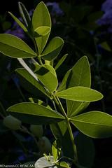 baptisia twilite prairie blues, hydrangea macrophylla irenes gift, myyard, jdy162 XX201006114713.jpg (rachelgreenbelt) Tags: usa maryland northamerica greenbelt hydrangea fabaceae americas hortensia midatlantic leguminosae floweringplants peafamily hydrangeamacrophylla hydrangeaceae dicots eudicots fabales orderfabales familyfabaceae subfamilyfaboideae rosids beanfamily faboideae cornales legumefamily asterids dicotyledons divisionmagnoliophyta fabaceaefamily midatlanticregion sophoreae familyhydrangeaceae hydrangeafamily idwelcome ordercornales baptisiatwilightprairieblues baptisiatwiliteprairieblues hydrangeaall baptisiaall hydrangeamacrophyllairenesgiftinventedname cornalesorder genushydrangea hydrangeagenus hydrangeamacrophyllaall hydrangeaceaefamily fabalesorder faboideaesubfamily sophoreaetribe tribesophoreae seedplantsspermatophytes asteridsclade hydrangeamacrophyllairenesgift