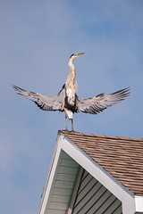 The Great Unfurl (brev99) Tags: roof bird heron bethany delaware acr greatblueheron seacolony tamron70300vc highqualityanimals photoshopelements12