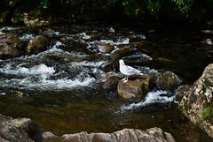 River Llugwy (Glenn Pye) Tags: seagulls bird nature water birds rock wales river nikon rocks wildlife seagull rivers betwsycoed northwales riverllugwy d3000 nikond3000