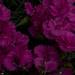 dianthus, myyard, jdy144 XX201105246380.jpg