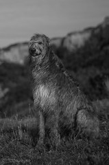 I'm Such a Handsome Beast (Shastajak) Tags: dog pentax 55mm m42 sighthound manualfocus scottishdeerhound deerhound k3 ishmael gazehound 1971supermulticoatedtakumar11855 takumarf18 pentaxk3