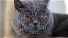 let me sleep (tor-falke) Tags: blue pet animal animals cat tiere chat british katze eddy animaux bluecat haustier britishshorthair tier bkh hauskatze britischkurzhaar cc100 torfalke flickrtorfalke