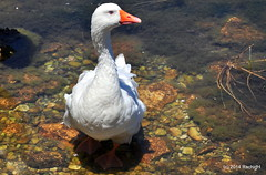 DSC_0305 (rachidH) Tags: sea lake birds geese mediterranean hellas ducks goose greece waterfowl kefalonia canard oiseaux muscovy oie karavomylos rachidh melissany