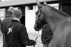 Pat (tomhobbs21) Tags: boy horses horse baby white man black france love work canon eos living photo lifestyle rob jacket photograph lad bobby grayscale care attention sales job stud racehorse deauville admiration yearling yearlings carer newsells deauv arqana