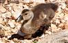 DSC_0186 (RachidH) Tags: sea lake birds geese mediterranean hellas ducks ducklings goose greece goslings waterfowl kefalonia canard oiseaux muscovy oie karavomylos rachidh melissany