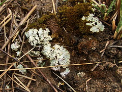 Koko Nor/Qinghai Lake,Flora & Habitat (Hesperia2007) Tags: china plants moss flora asia soil fungus wetlands lichen botany habitat terrestrial grasslands mycology tibetanplateau qinghailake kokonor