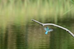 DSC_0831.jpg (Masaki Miida) Tags: bird animal japan nikon kingfisher   alcedoatthis    d7100