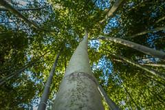 High (JulianBernalPh) Tags: planta cane de arbol bamboo alto bambu altura caa