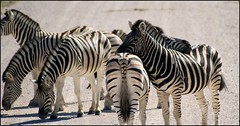 Zebras on the road (tor-falke) Tags: africa wild animal animals fauna tiere african wildlife safari zebra afrika animaux tier etosha afrique zèbre wildpferd