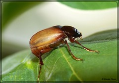 Famlia: Scarabaeidae? (DiogoCsar) Tags: nature animal braslia insect df natureza panasonic inseto escaravelho scarabaeidae fz150