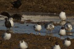 2CST (The Gull Explorer) Tags: nature birds gulls landfill blackheadedgull gbl chroicocephalusridibundus zabielikis yellowplasticband 2cst ringeuropelarusridibundus ringeuropechroicocephalusridibundos y2cst