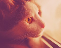 Stalking (Fortunes2011. Season's Greeting & Peace to ALL) Tags: pet closeup nikon soft ct whiskers niko whitecat ambereyes catseye yelloweyes petportrait catportrait fortunes2011