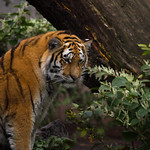 A Tiger Deep In Thought thumbnail