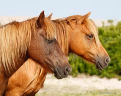 Wild Horses (torva terra) Tags: wild horses horse island pony equine assateague chincoteague
