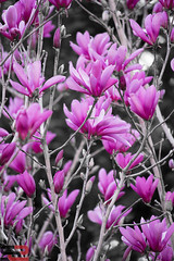 Tulip Tree (snap2studios) Tags: pink flowers flower beautiful season landscape outside outdoors early petals spring blossom pop fragrant blooms decorate brilliant saucermagnolia tuliptree