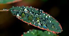 Rain Drop's,in the Morning Sun. (Omygodtom) Tags: red portrait macro reflection green art texture nature leaves season yahoo leaf google nikon flickr dof bokeh explorer exotic refraction existinglight tamron bing raindrop tamron90mm d7000