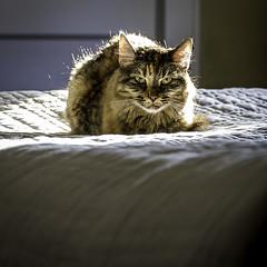 Backlit 2 (mph1966) Tags: pet sun sunlight cute face backlight cat canon fur iso400 whiskers 7d backlit 365 f56 sunlit 24105 105mm 24105l project365 canon24105l canon24105 canon7d 113seconds