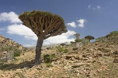 yem_1380 (Peter Hessel) Tags: yemen socotra soqotra jemen homhil dragonbloodtree dracaenacinnabari